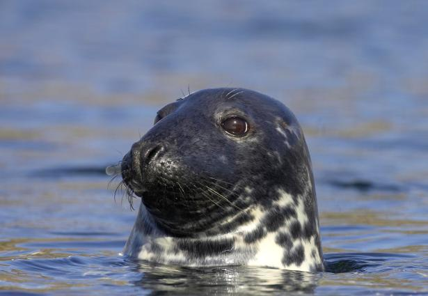 Common seal (Phoca vitulina) surfacing in sea off Scottish west coast.
